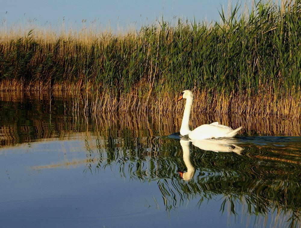 Swan_on_Lake_Velencei